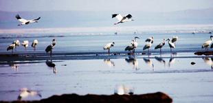 辽海春风白鹤归        眼下,是白鹤等候鸟陆续飞抵法库獾子洞国际湿地公园的季节。[详细]