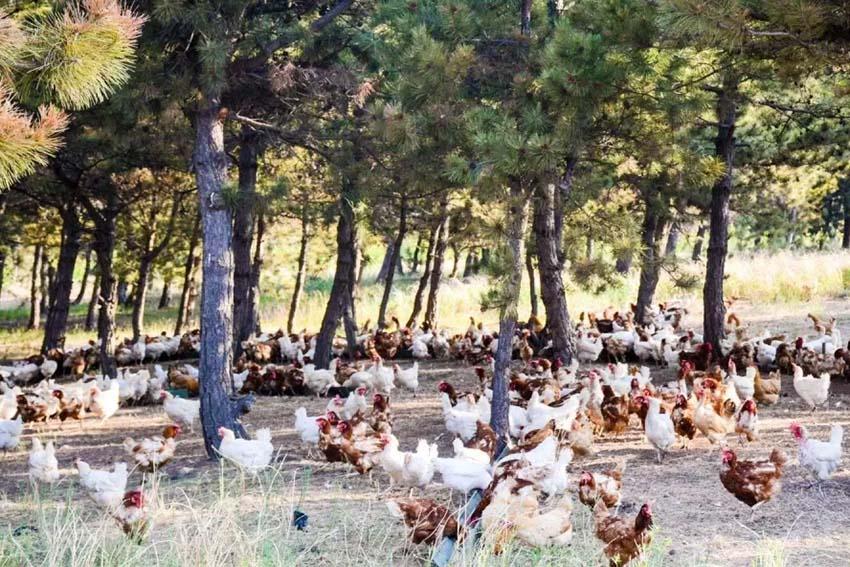 """阜新官营子村溜达鸡:散养在松树地的""""绿色""""鸡"""
