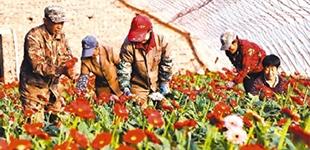 花卉产业富了锦州市义县七里河村
